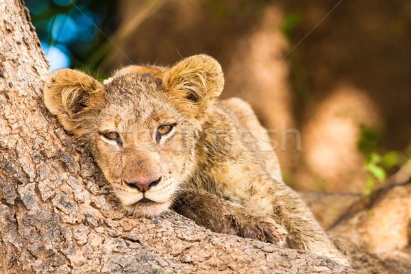 Aranyos oroszlán medvebocs pihen fatörzs állat Stock fotó © Donvanstaden