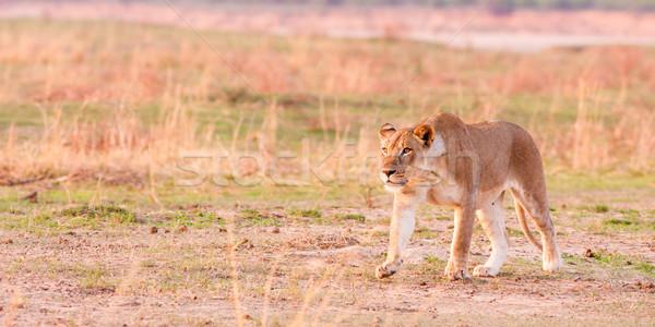 Vadászat vad afrikai vadon oroszlán állat Stock fotó © Donvanstaden