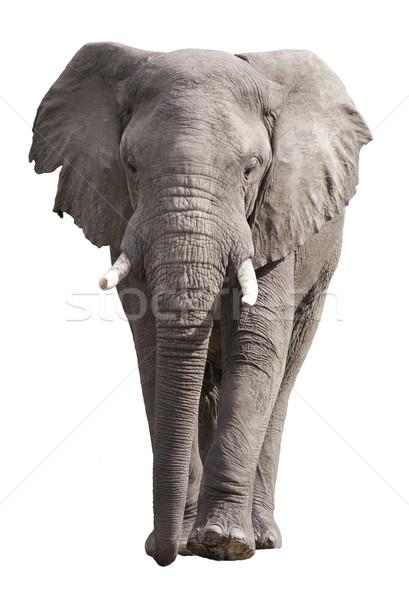 Afrikai elefánt izolált fehér élet állat áll Stock fotó © Donvanstaden