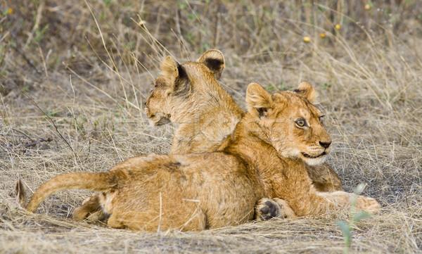 Oroszlán vad macska állat afrikai Tanzánia Stock fotó © Donvanstaden