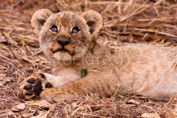 Cute lion cub looking up Stock photo © Donvanstaden