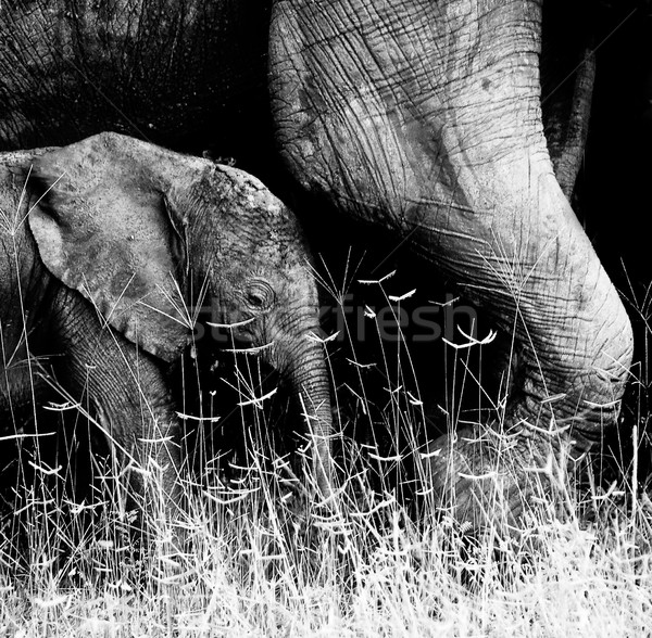 Stock fotó: Baba · elefánt · rejtőzködik · mögött · arc · tehén