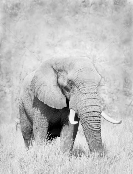 Stock fotó: Elefánt · vad · afrikai · elefánt · feketefehér · erő · park