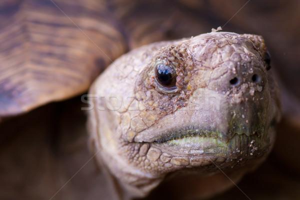 Leopárd teknősbéka közelkép kép vad erő Stock fotó © Donvanstaden