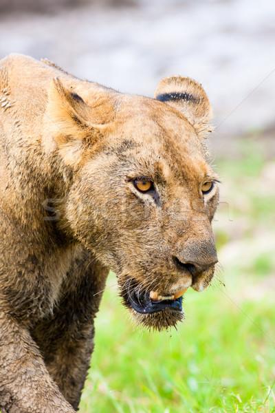 Oroszlán vadászat közelkép vad állat afrikai Stock fotó © Donvanstaden