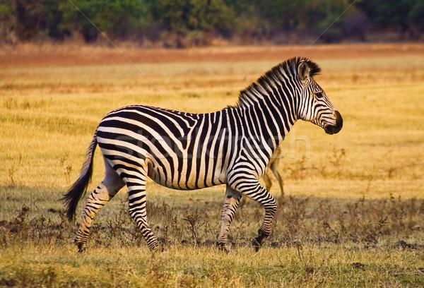 Zebra fut vad árvíz fű park Stock fotó © Donvanstaden