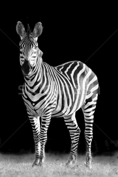 Zebra kreatív feketefehér kép erő park Stock fotó © Donvanstaden