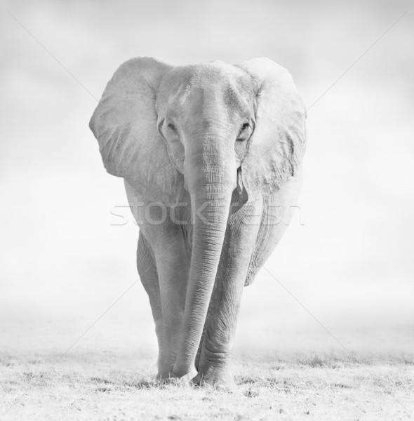 Elephant Stock photo © Donvanstaden