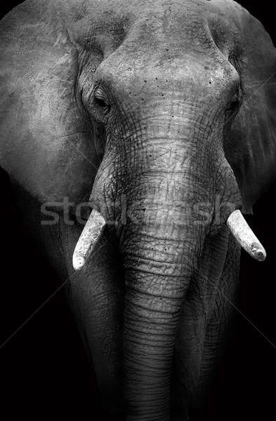 Vad afrikai elefánt művészi monokróm kép alacsony Stock fotó © Donvanstaden