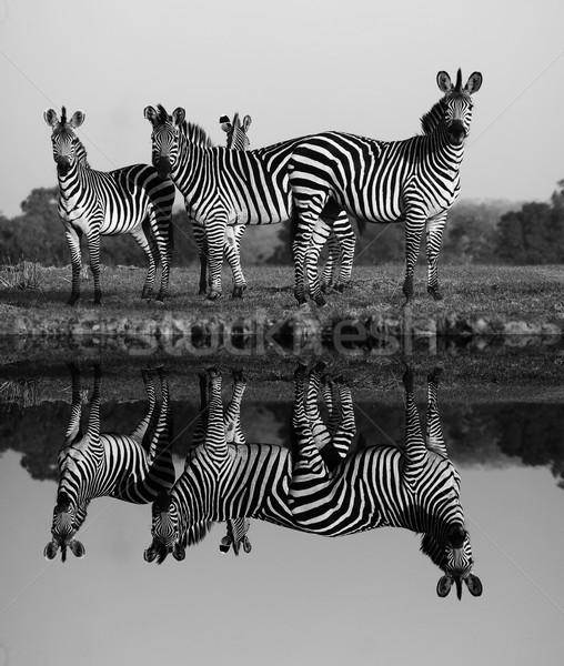 Zebra víz tükröződés nyáj zebrák ló Stock fotó © Donvanstaden