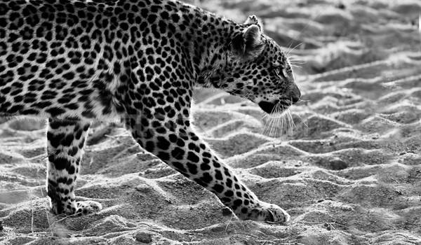 Leopárd sétál feketefehér kép homok macska Stock fotó © Donvanstaden