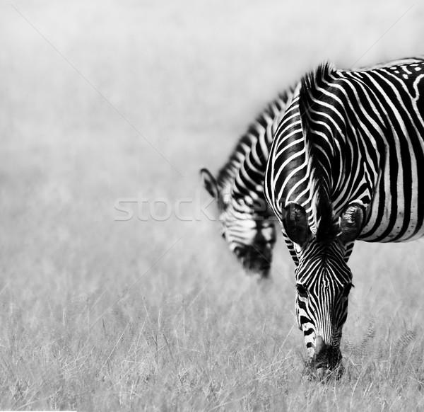 Two Zebras Feeding Stock photo © Donvanstaden