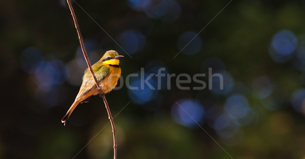 Little Bee Eater Bird Stock photo © Donvanstaden