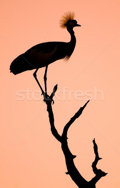 állvány madár sziluett drámai naplemente háttér Stock fotó © Donvanstaden