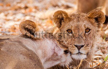 Cute Lion Cubs Stock photo © Donvanstaden