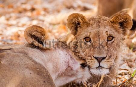 Cute leeuw spelen zand kat afrika Stockfoto © Donvanstaden
