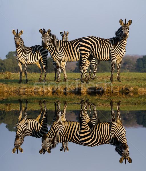 Zebra tükröződés nyáj zebrák víz ló Stock fotó © Donvanstaden