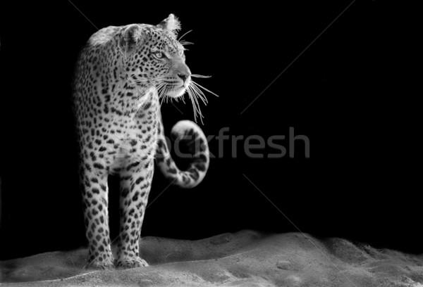 Leopárd feketefehér kép bámul arc macska Stock fotó © Donvanstaden