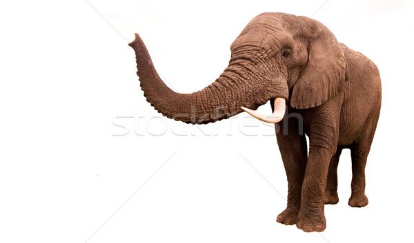 Elefánt izolált afrikai elefánt fehér természet utazás Stock fotó © Donvanstaden