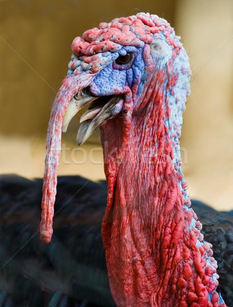 Törökország élet fej közelkép madár hús Stock fotó © Donvanstaden