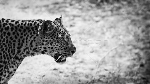 Leopárd közelkép feketefehér arc macska tigris Stock fotó © Donvanstaden