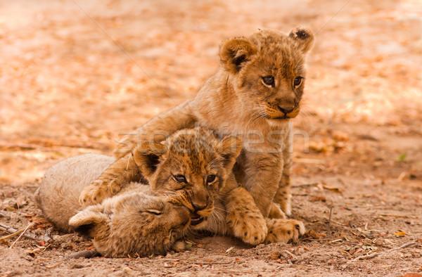 Cute Lion Cubs Stock photo © Donvanstaden