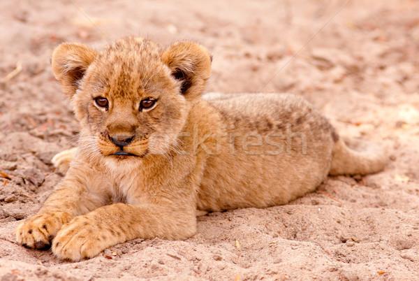 Aranyos oroszlán medvebocs ül homok macska Stock fotó © Donvanstaden