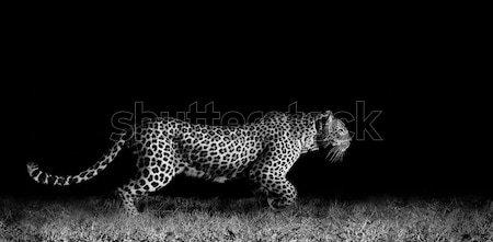 Leopárd fut feketefehér kép vad afrikai Stock fotó © Donvanstaden