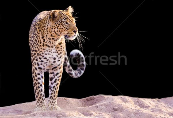 Leopárd színes kép áll homok arc macska Stock fotó © Donvanstaden