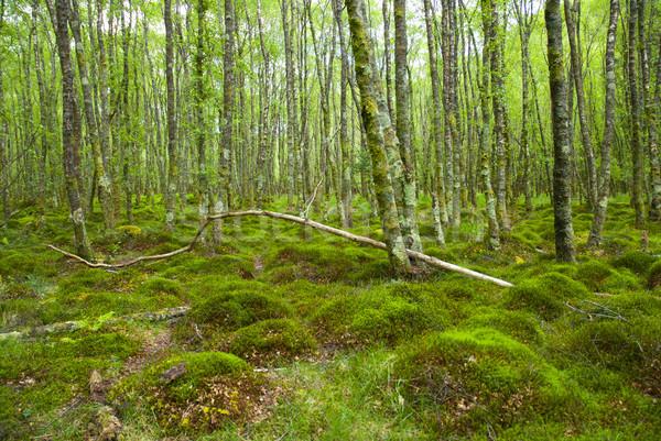 Derin Orman Ağaç Doğa Arka Plan Ağaçlar Stok Fotoğraf