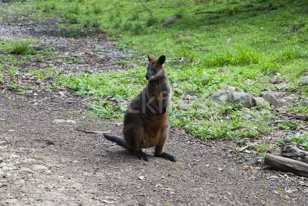 Fiatal piros kenguru család baba tájkép Stock fotó © doomko