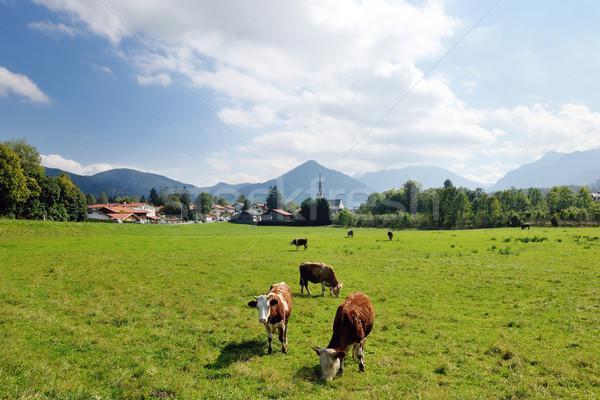 cow animal on field Stock photo © dotshock