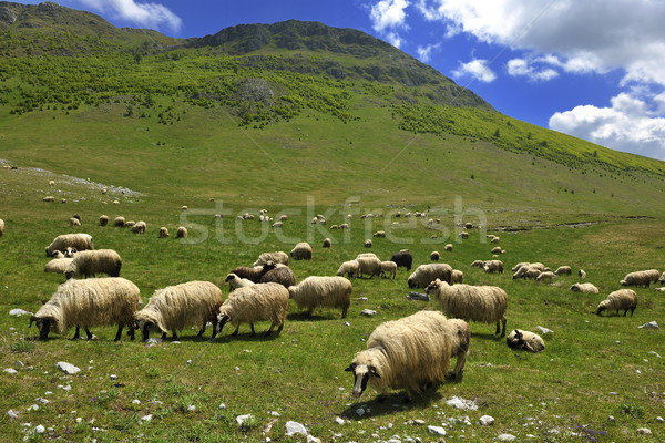 sheeps in nature Stock photo © dotshock