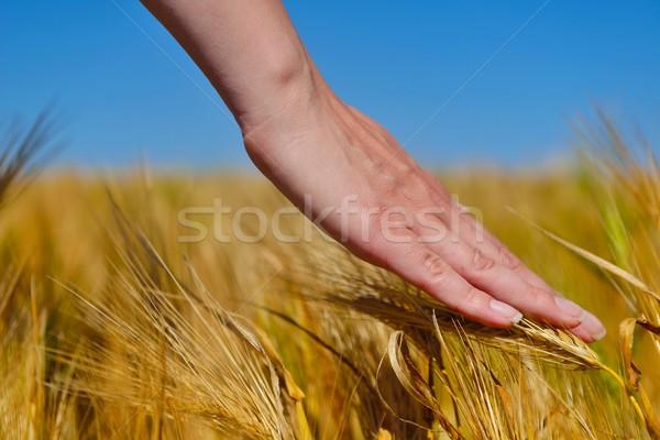 Kéz búzamező aratás arany étel mezőgazdaság Stock fotó © dotshock