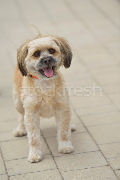 little cute dog Stock photo © dotshock