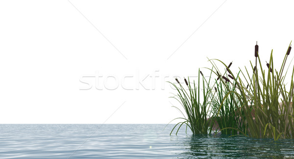 reed Stock photo © drizzd