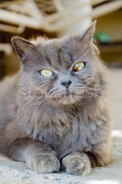 кошки лице фон белый животного ПЭТ Сток-фото © Dserra1