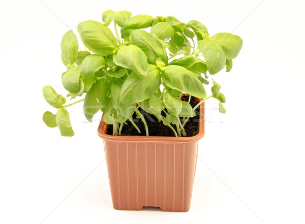Fesleğen yaprakları aromatik gıda bitki taze Stok fotoğraf © dulsita