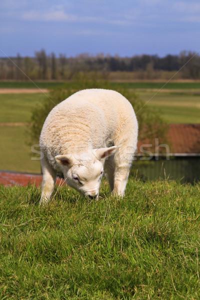 Yeni doğmuş kuzu çim bahar gün Stok fotoğraf © duoduo