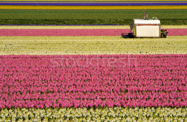 Machine jacinthe champs coloré holland Photo stock © duoduo
