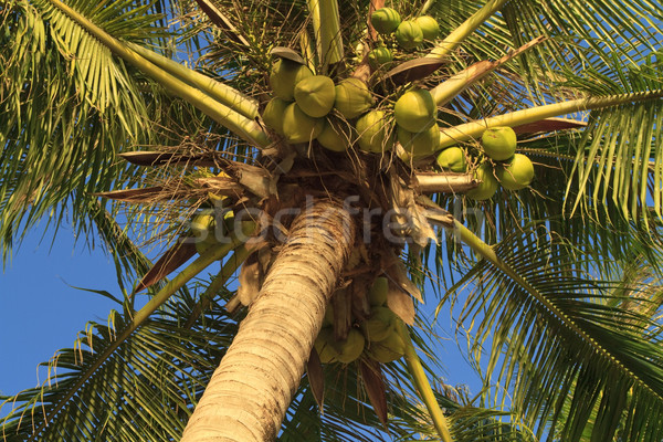 Coconuts hanging on a palm tree Stock photo © duoduo