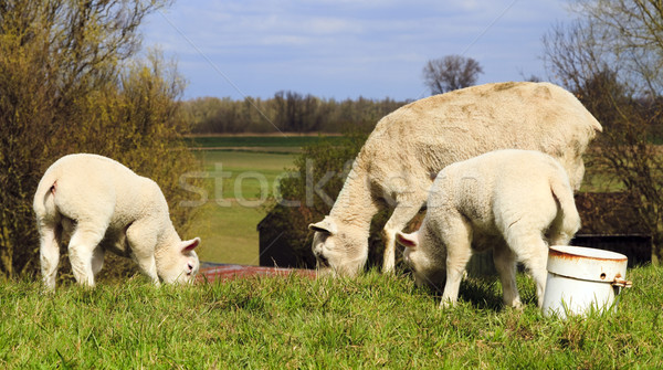 Mother and two young lambs Stock photo © duoduo