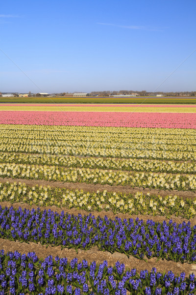 Stock photo: Hyacinth fields in bloom in Holland
