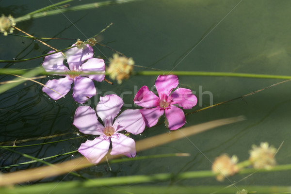 Flowers drifting along by the river bank Stock photo © duoduo