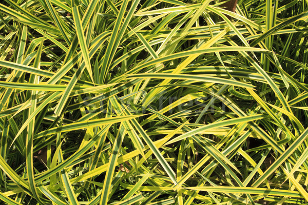 Ornamental grass like house plant Stock photo © duoduo