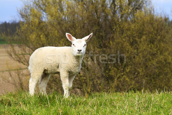 A cute lamb standing on a hill Stock photo © duoduo
