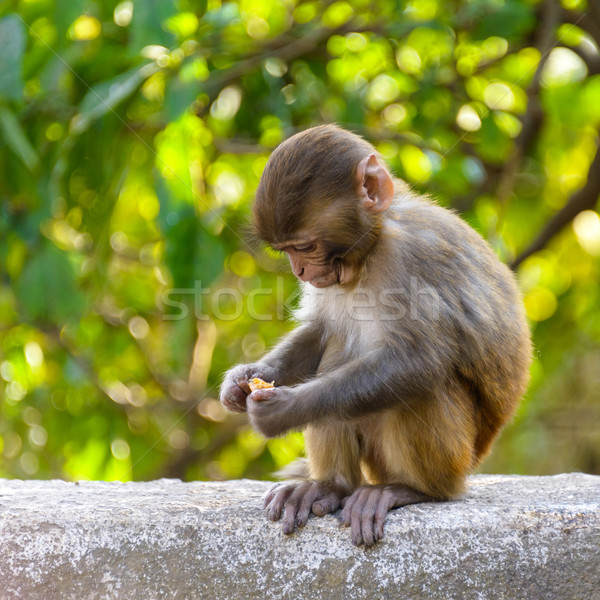 A baby macaque eating an orange Stock photo © dutourdumonde