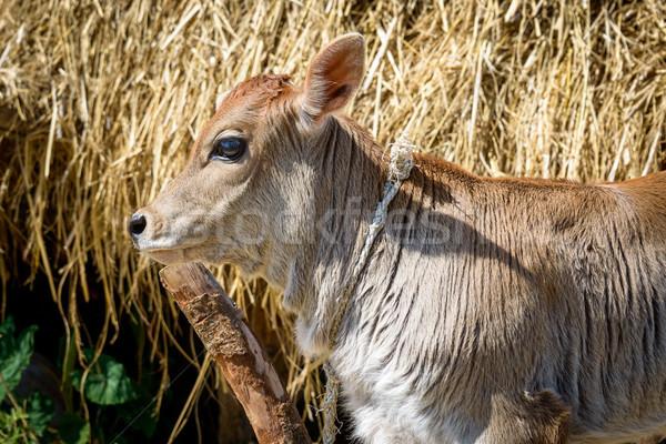 Calf attached to a pole Stock photo © dutourdumonde
