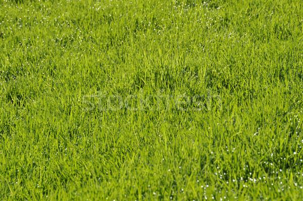 Orvalho gramado primavera manhã natureza folha Foto stock © dutourdumonde