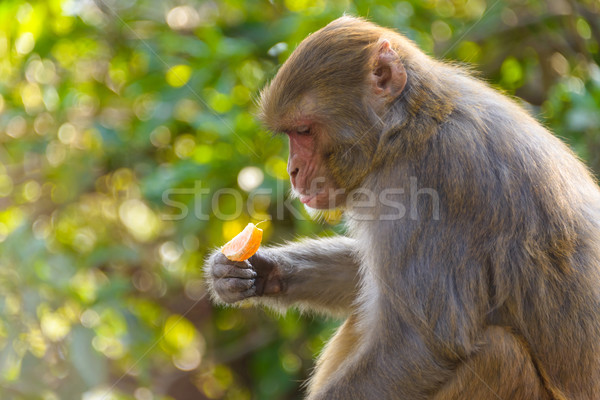 Macaque eating an orange Stock photo © dutourdumonde